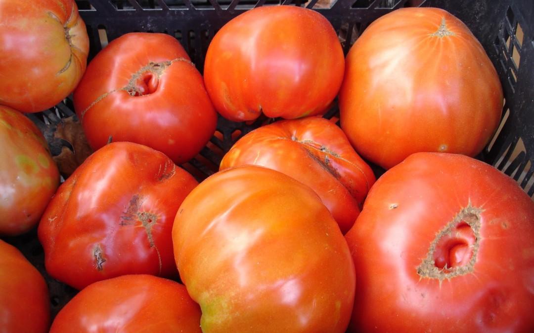 Jornada técnica del cultivo del tomate Huevo Toro